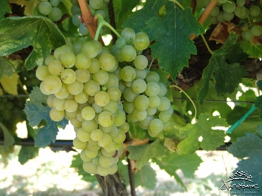 Greek grape Malvasia