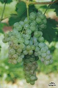 Greek grape variety Malvasia