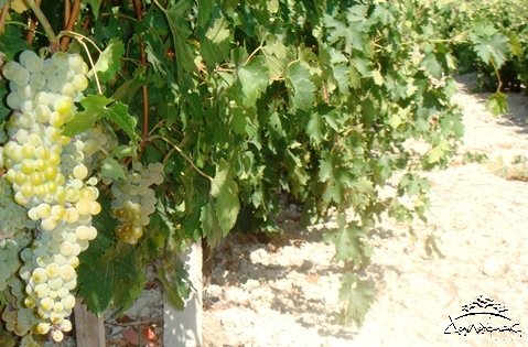 Cretan grape Muscat of Spina