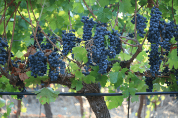 Grape variety Cabernet Sauvignon in Crete, Greece