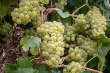 Grape variety Chardonnay in Crete, Greece