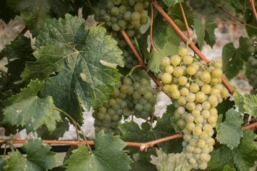 Cretan grape variety Malvasia