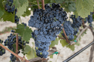 Cretan grape variety Mandilari