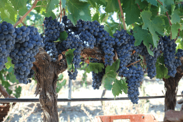 Grape variety Sangiovese in Crete, Greece