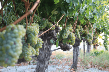 Grape variety Sauvignon Blanc in Greece