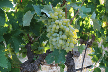 Cretan grape variety Vidiano