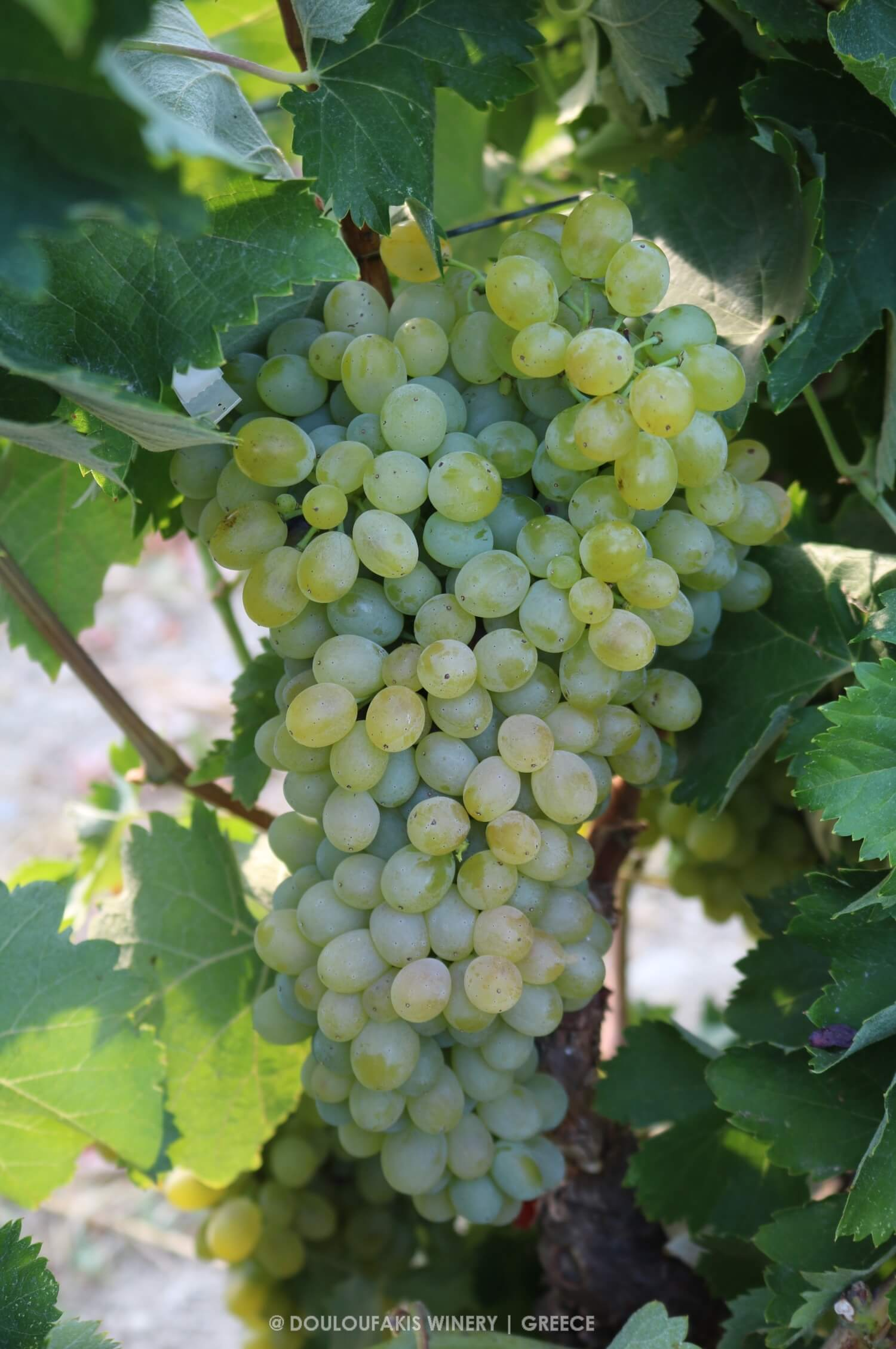 THE VINE DESCRIPTION OF THE VIDIANO VARIETY