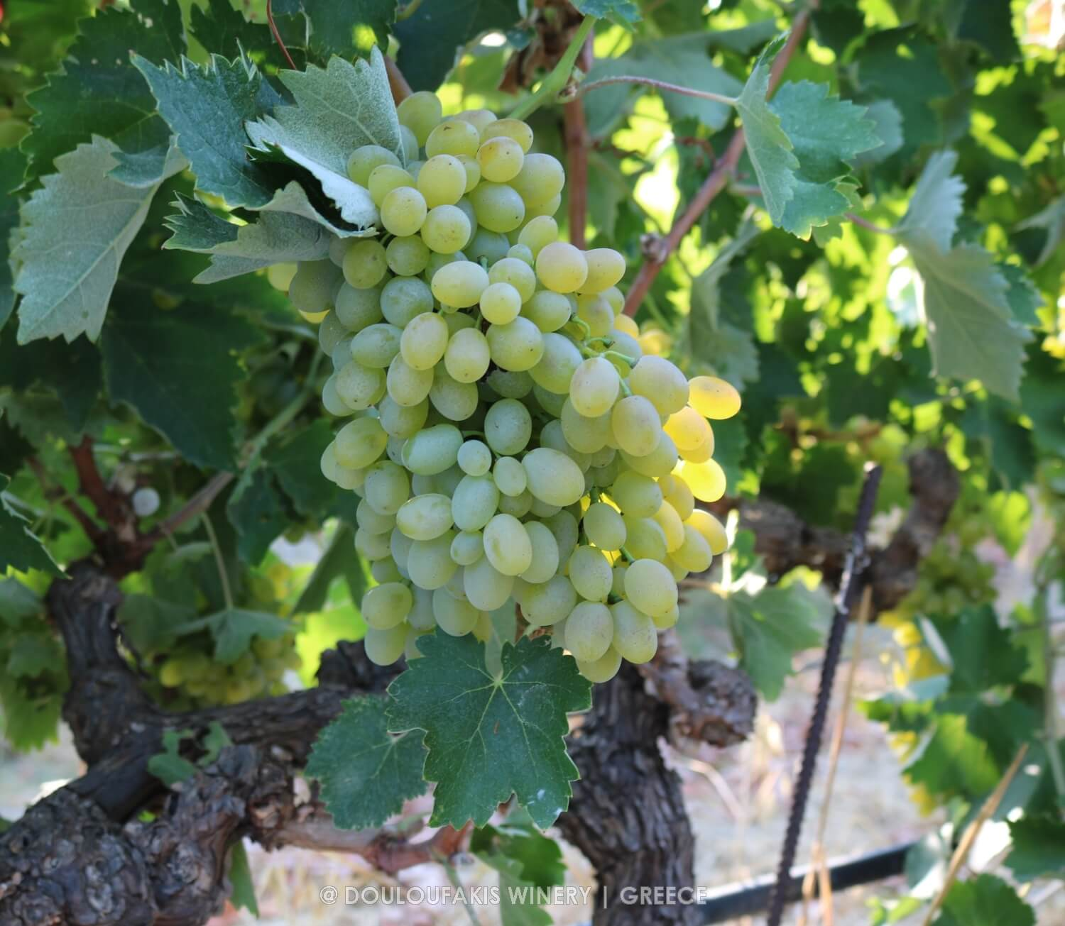 Grape variety Vidiano from Crete, Greece