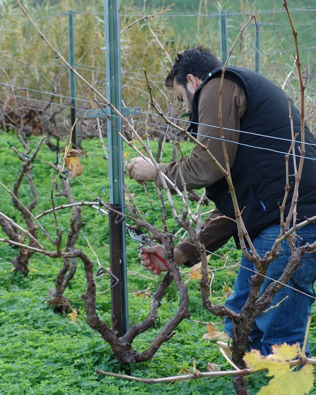 Douloufakis pruning vines